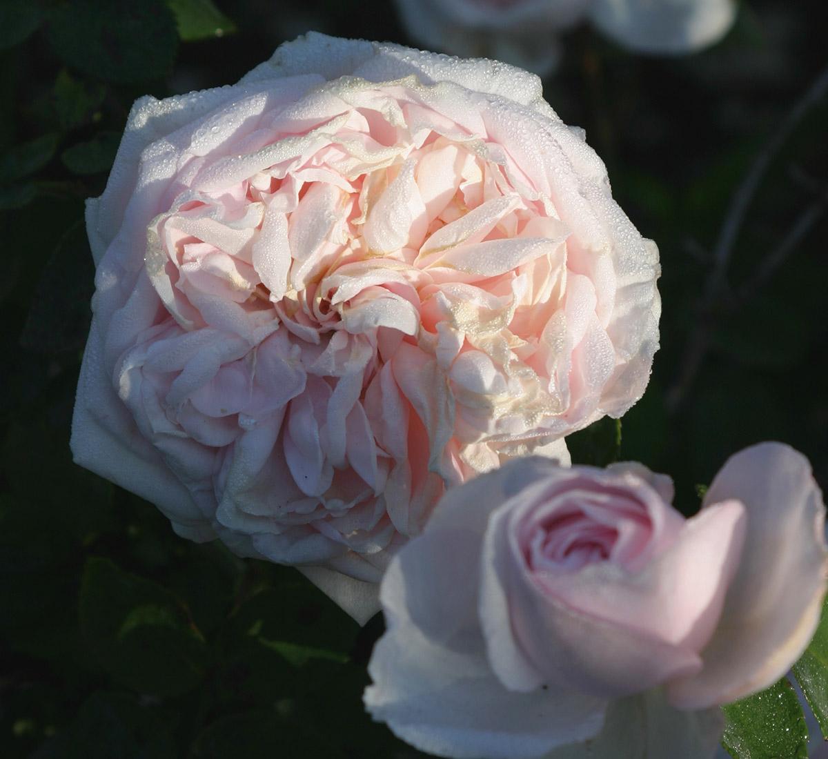 Souvenir de la Malmaison bourbon rose