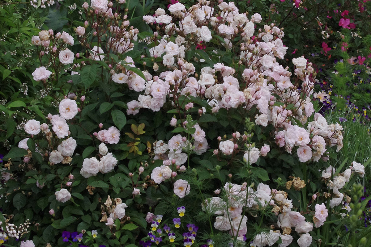 Marie Pavie dwarf rose