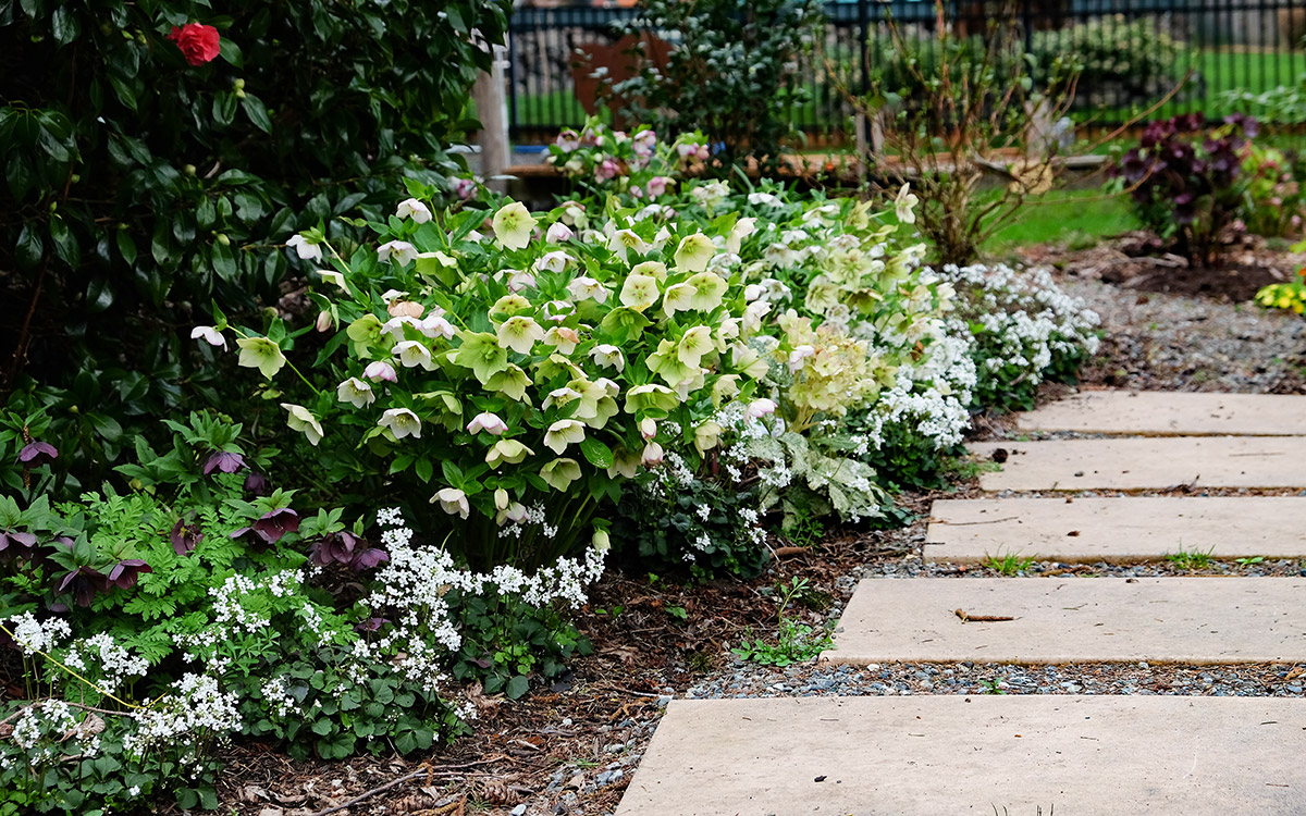 three-leaved cardamine and hellebores