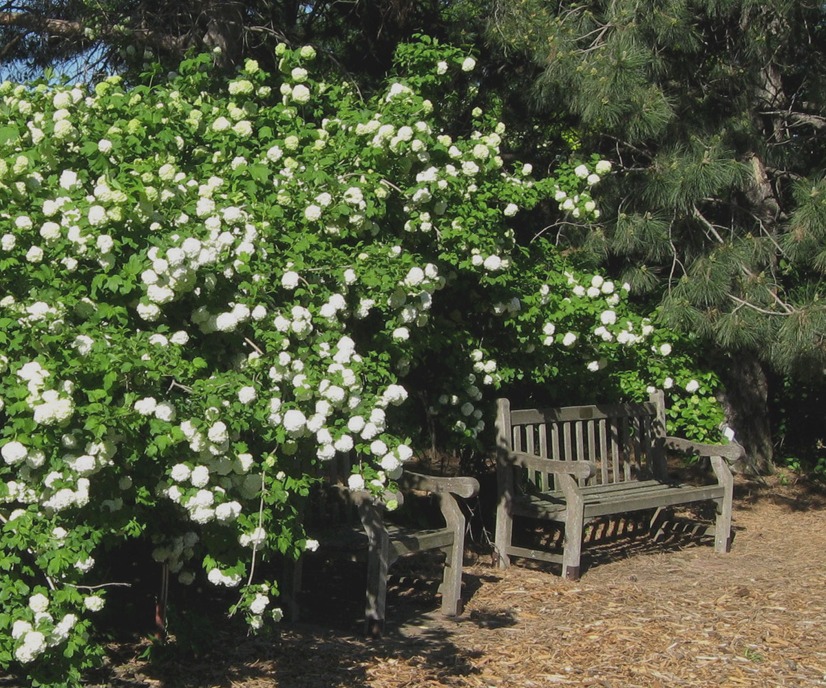 snowball viburnum in need of pruning