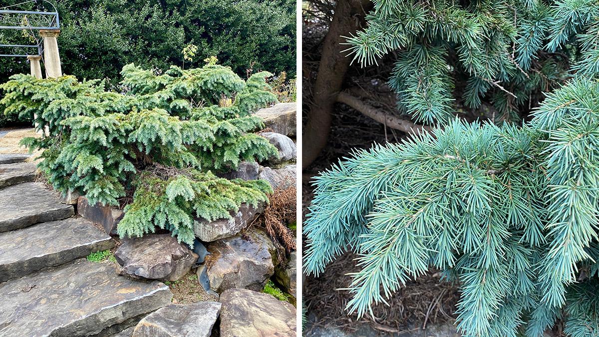 Prostrate Beauty blue deodar cedar