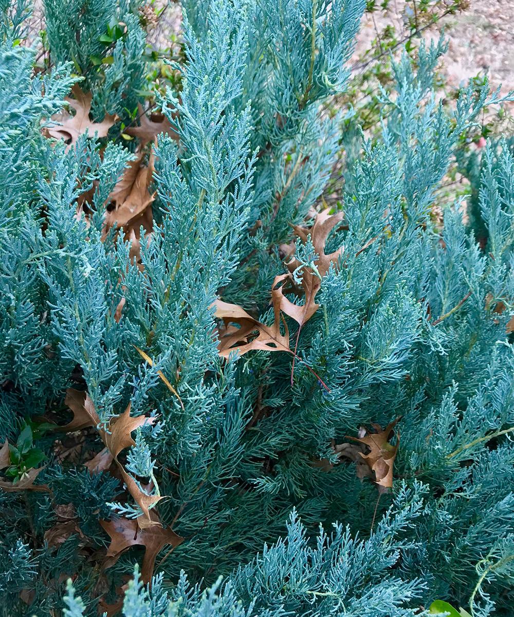 Compact blue Eastern red cedar
