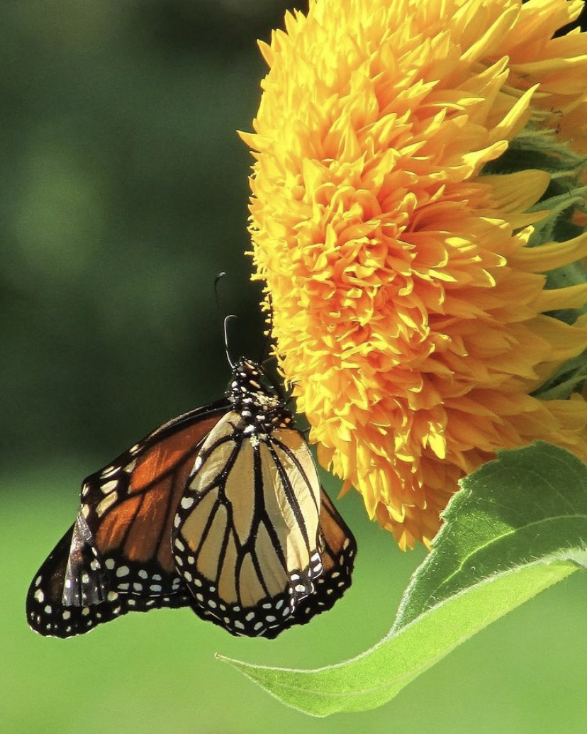 monarch butterfly on a sunflower