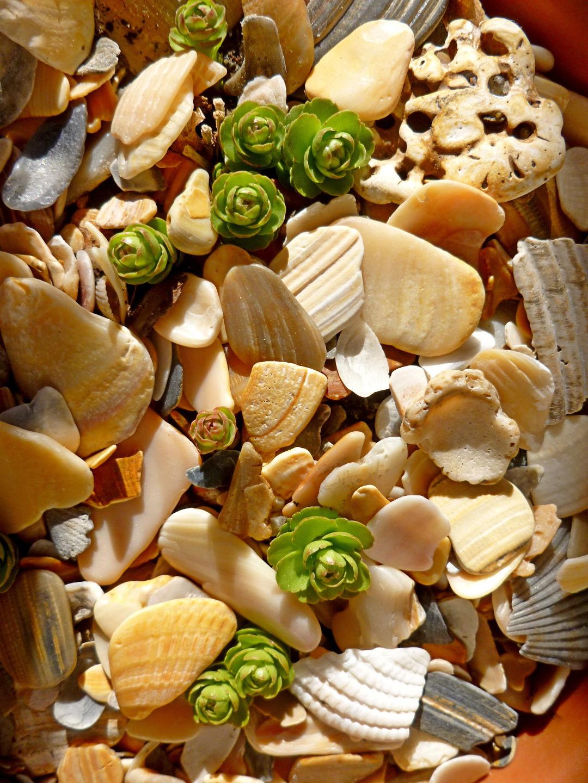 sedum buds in seashell fragments