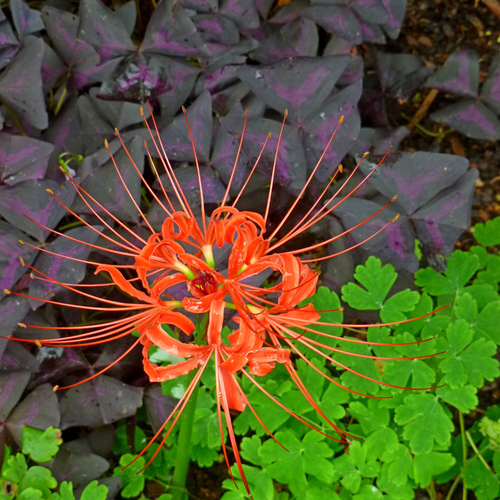 red spider lily