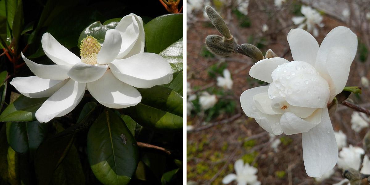 Southern magnolia vs Star magnolia