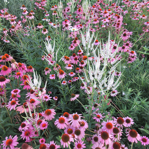 hardy perennials for midwest