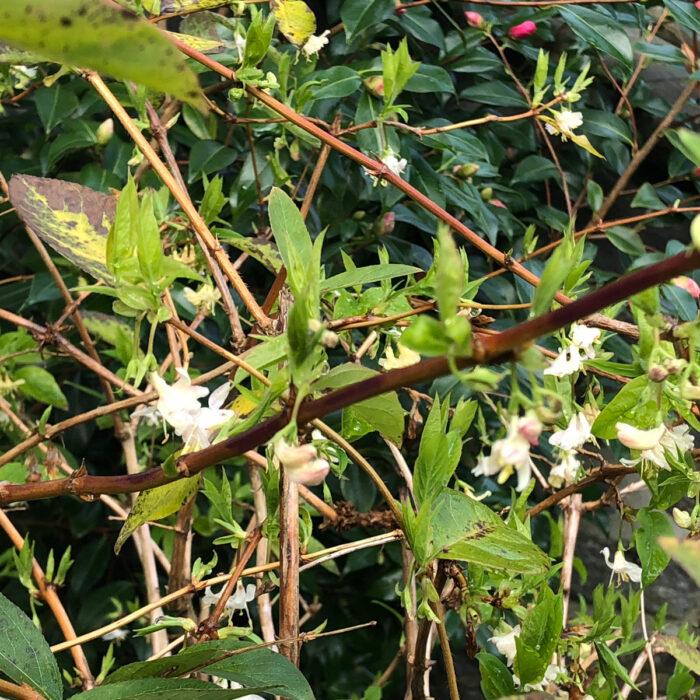 'Winter Beauty' honeysuckle