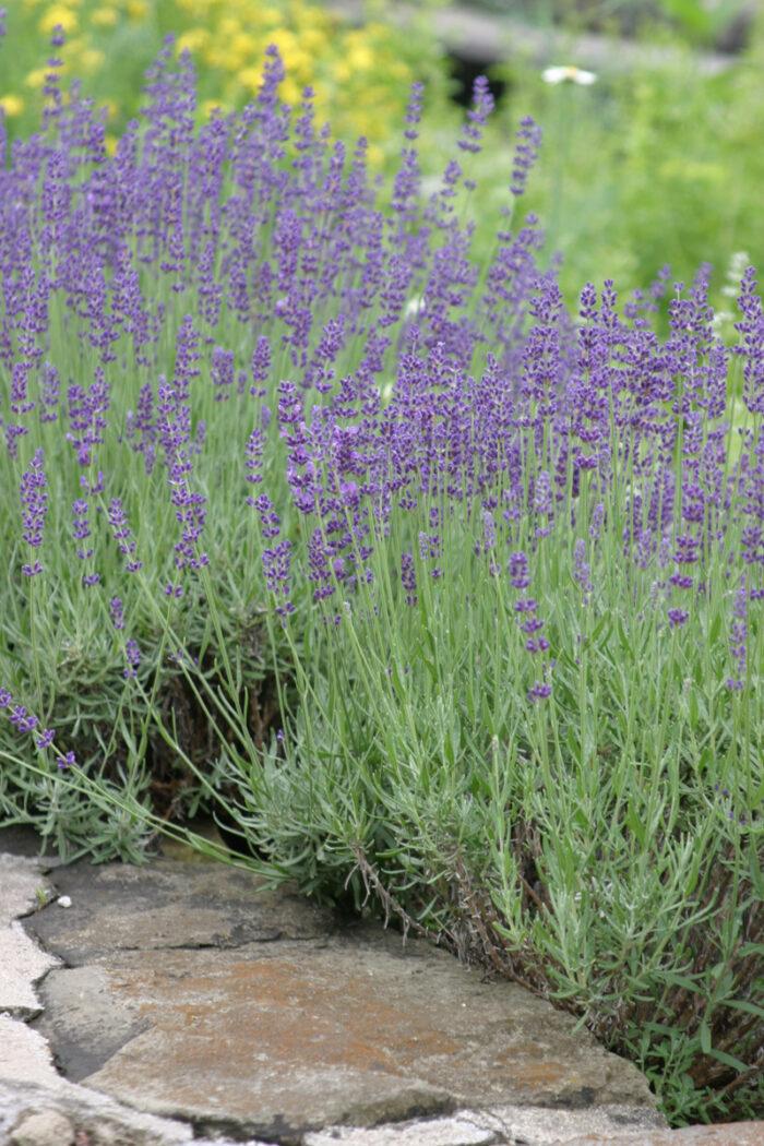 'Hidcote' English lavender
