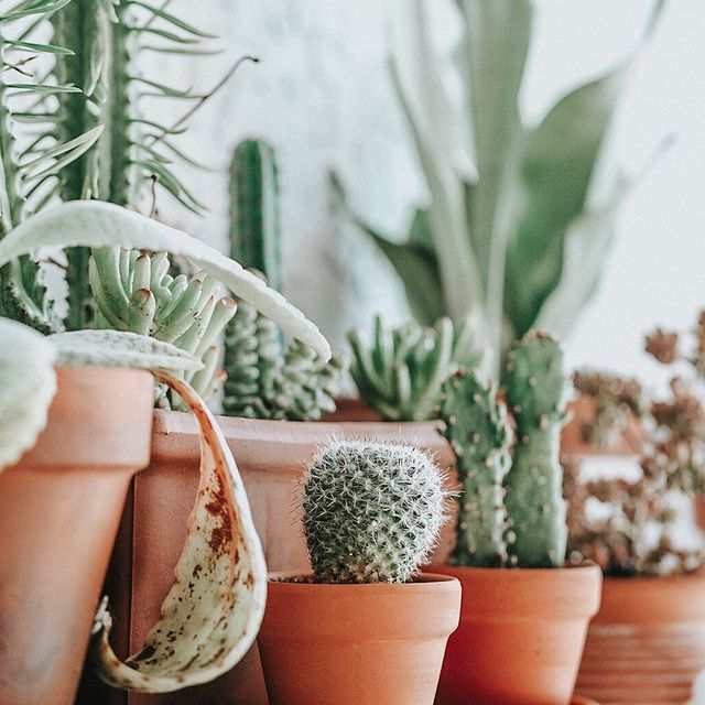 cacti and succulents in terra cotta pots