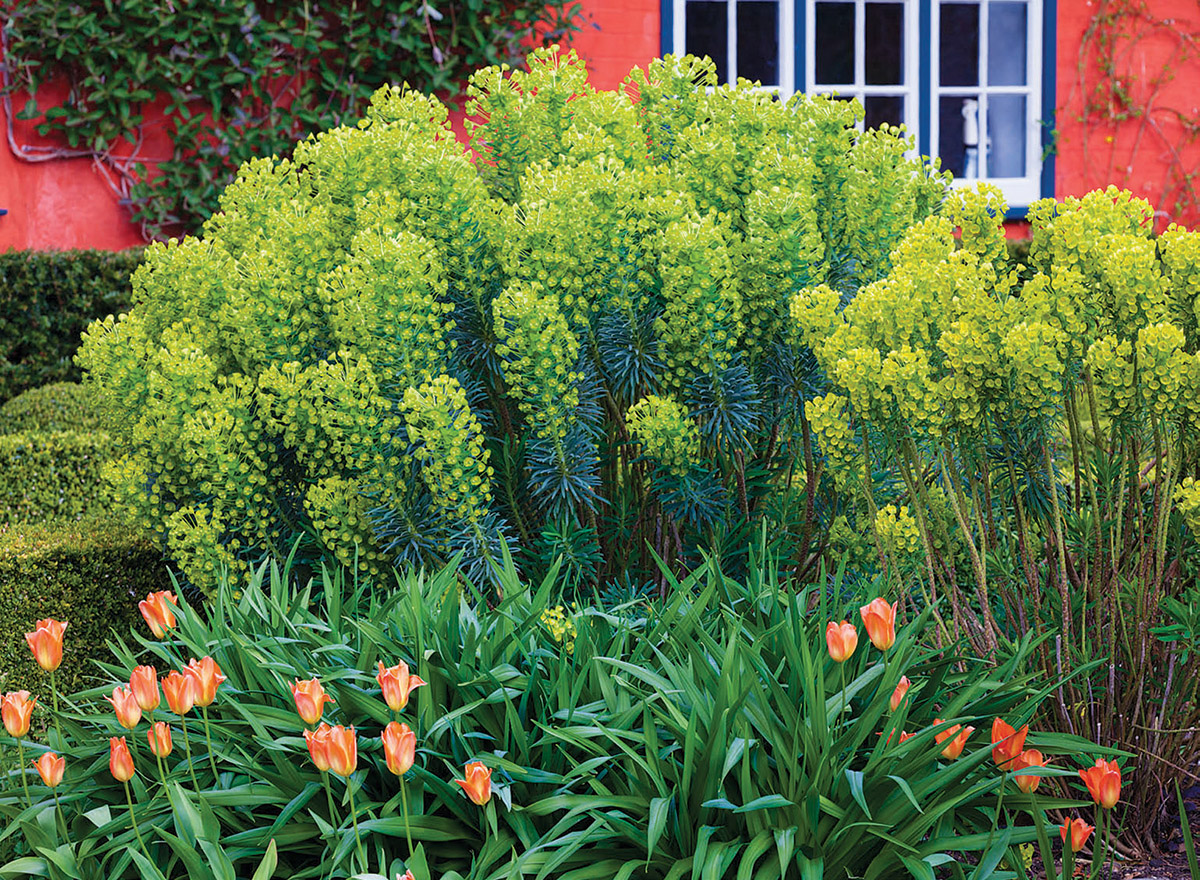 Every garden needs areas of high interest, but when you are planting in front of a red house and behind some 'Orange Emperor', you need to be careful. The interest here comes from the strong bottlebrush form of the euphorbias and the color of their muted but still noteworthy blooms. Had the color been more yellow, the impact would have been too much.