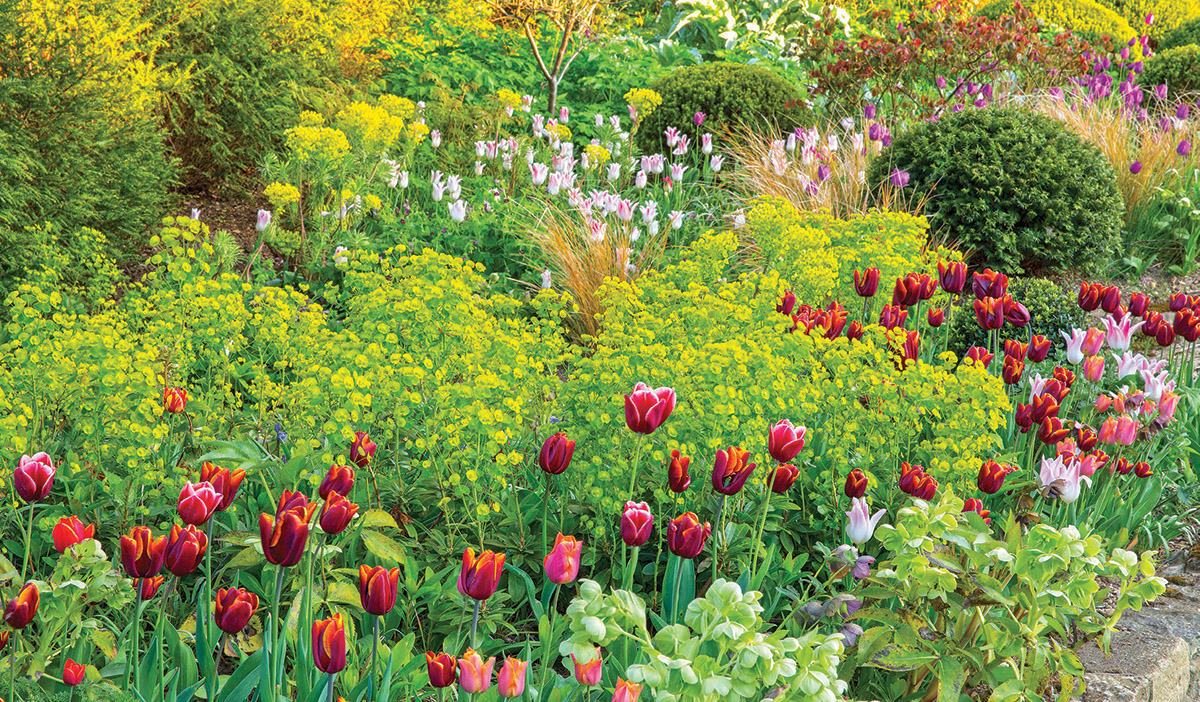 The contrast between the dark red tulips in the foreground and the white tulips behind them is large. Chartreuse euphorbia sits in the middle, being not too dark, not too light, and not too showy. With the tulips mimicking the undulating river of the euphorbia, the planting is colorful and cohesive. Some round green yews anchor the bed to keep it from feeling too wild or random.