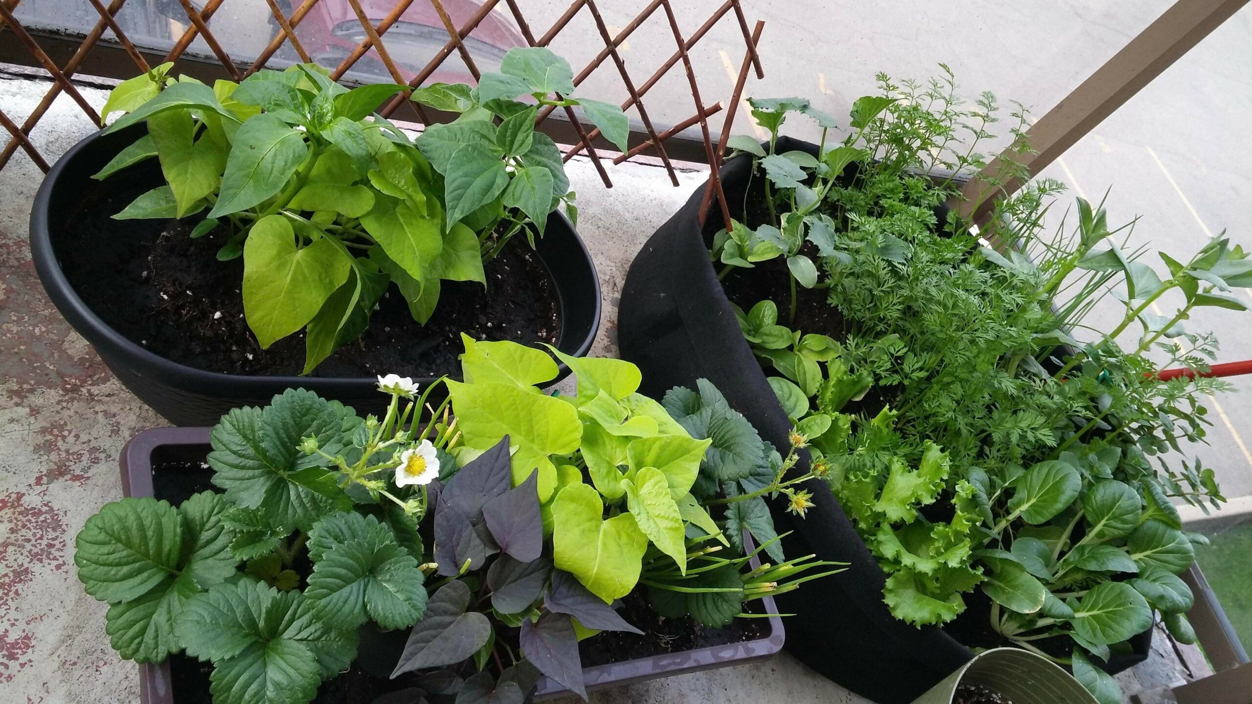 edible plants growing in containers