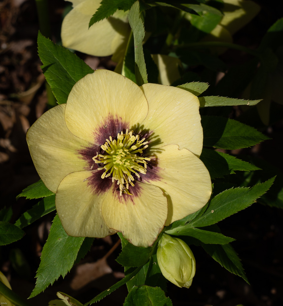 pale yellow hellebore