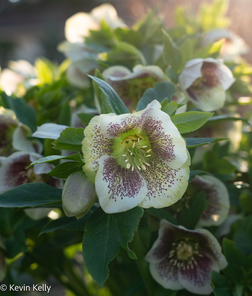 hellebore white with purple speckles