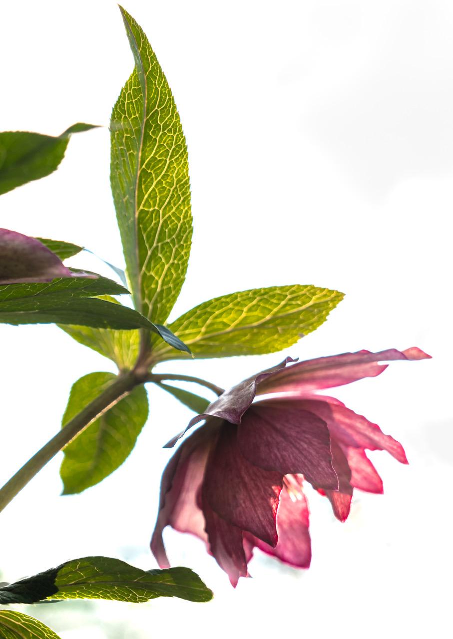 Hellebore flower in the sunlight