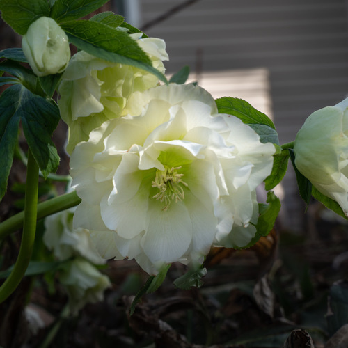 Kevin's Hellebore Collection