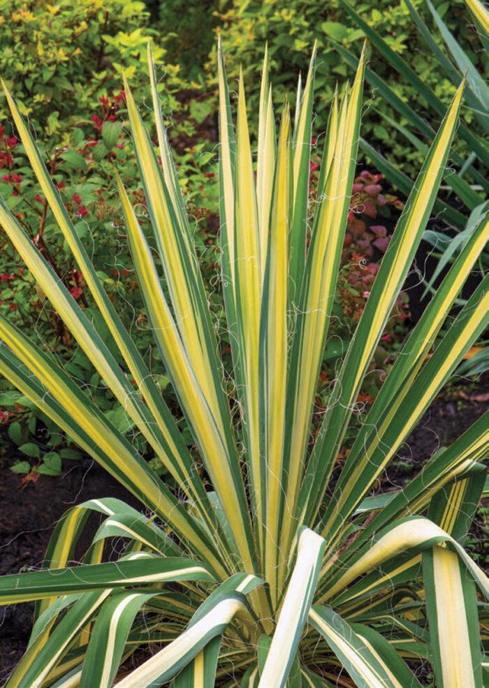 'Color Guard' yucca