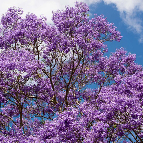 Jacaranda tree canopy