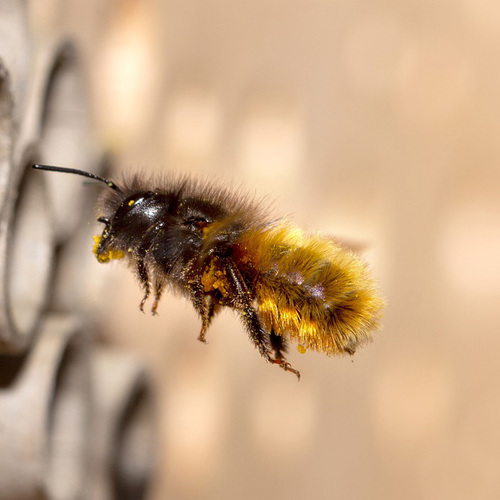 Mason Bees Are Easy, Home-Grown Pollinators for Your Garden