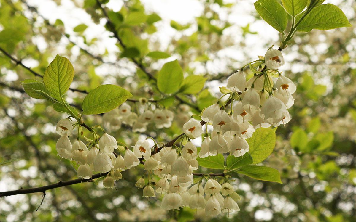 Carolina silverbell tree