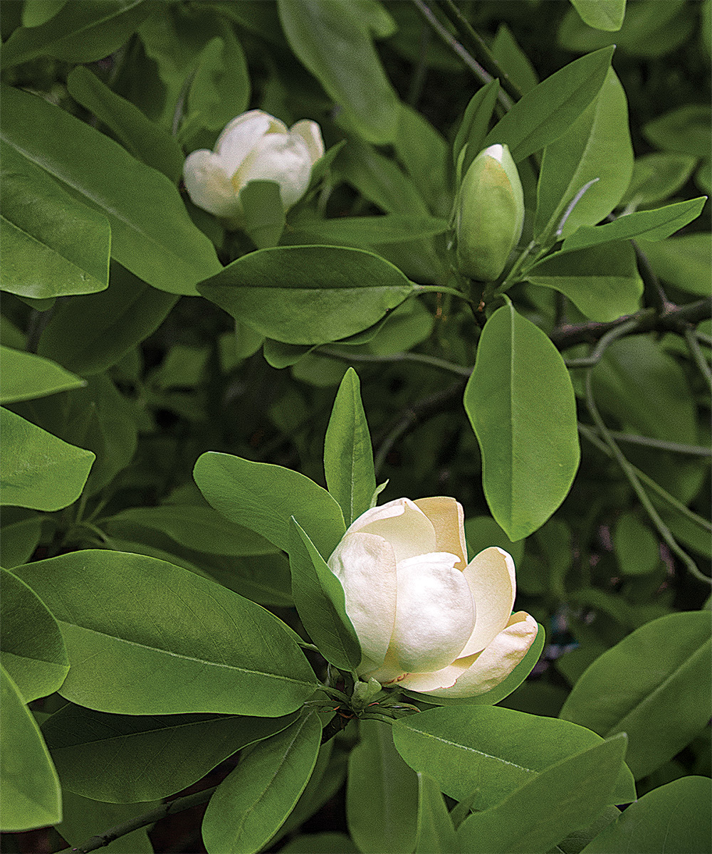 Moonglow sweet bay magnolia