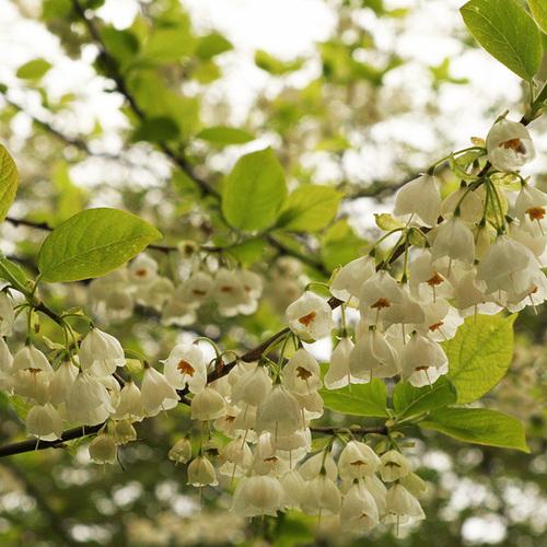 Carolina silverbell in bloom