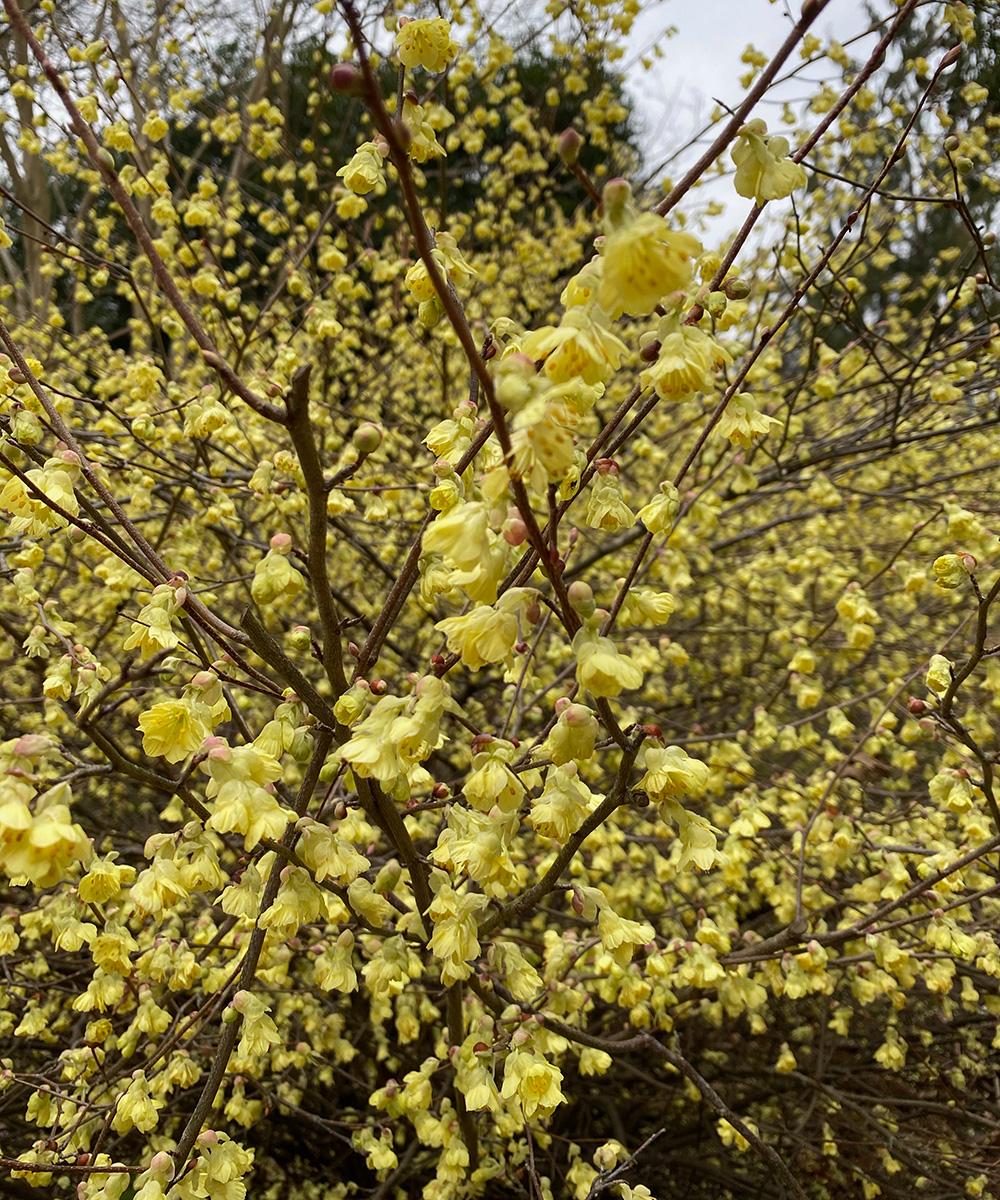 buttercup winter hazel flower close up