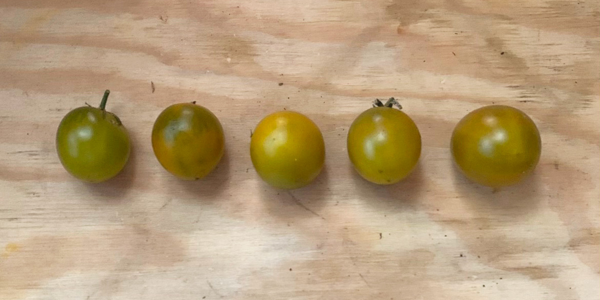 green grape tomatoes