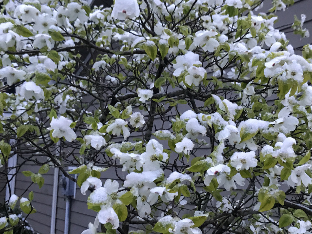colorful dogwood dusted with snow
