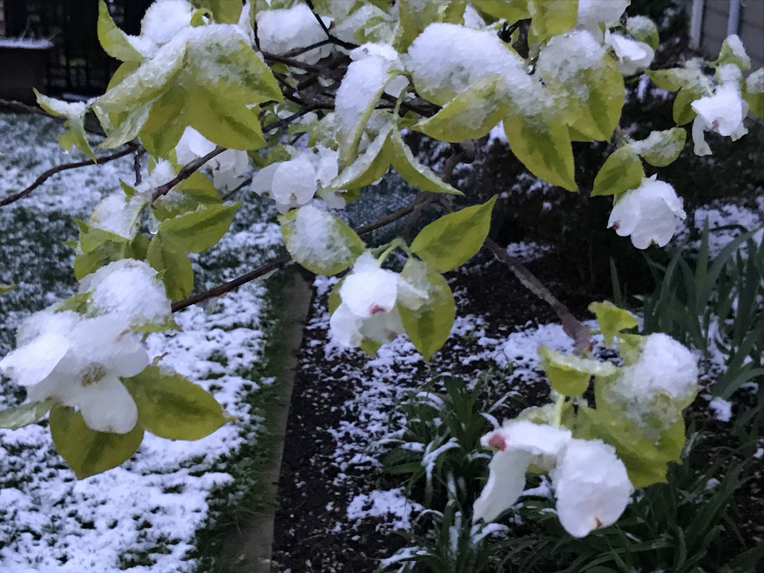 snow on a tree with spring blooms