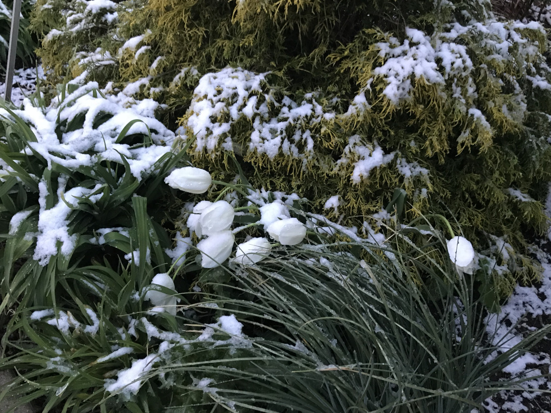 White tulips fall from the snow
