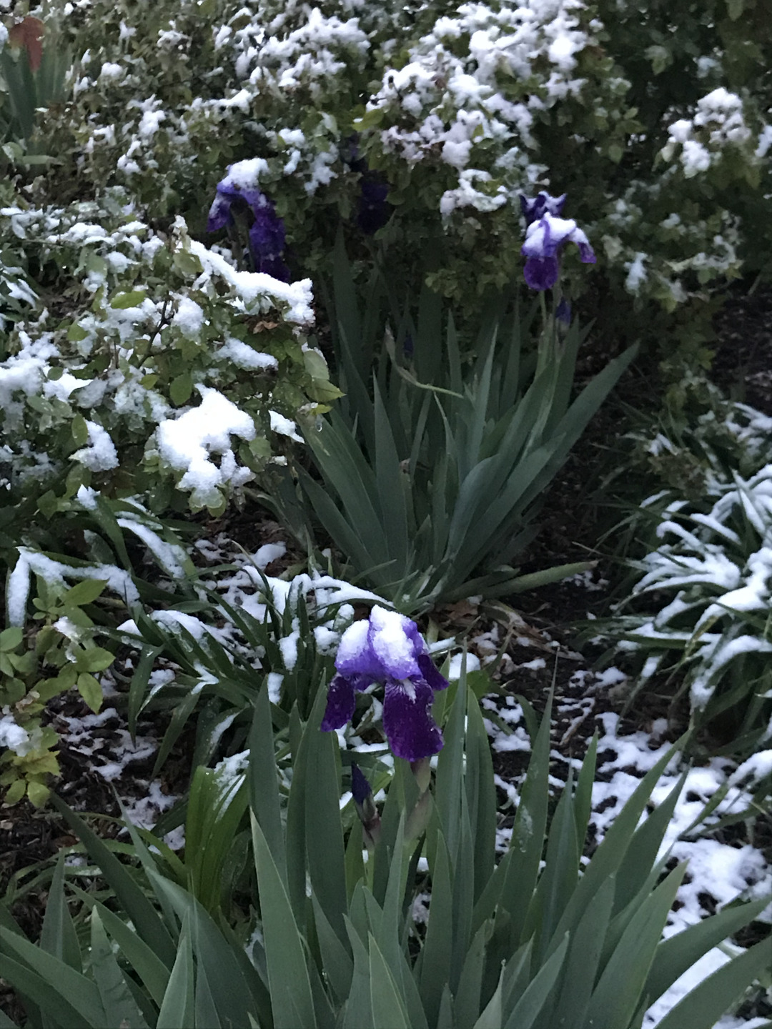 Purple bearded irises covered in snow