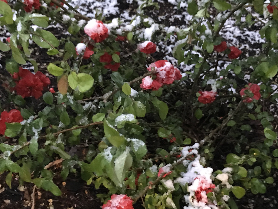 flowering quince covered with snow