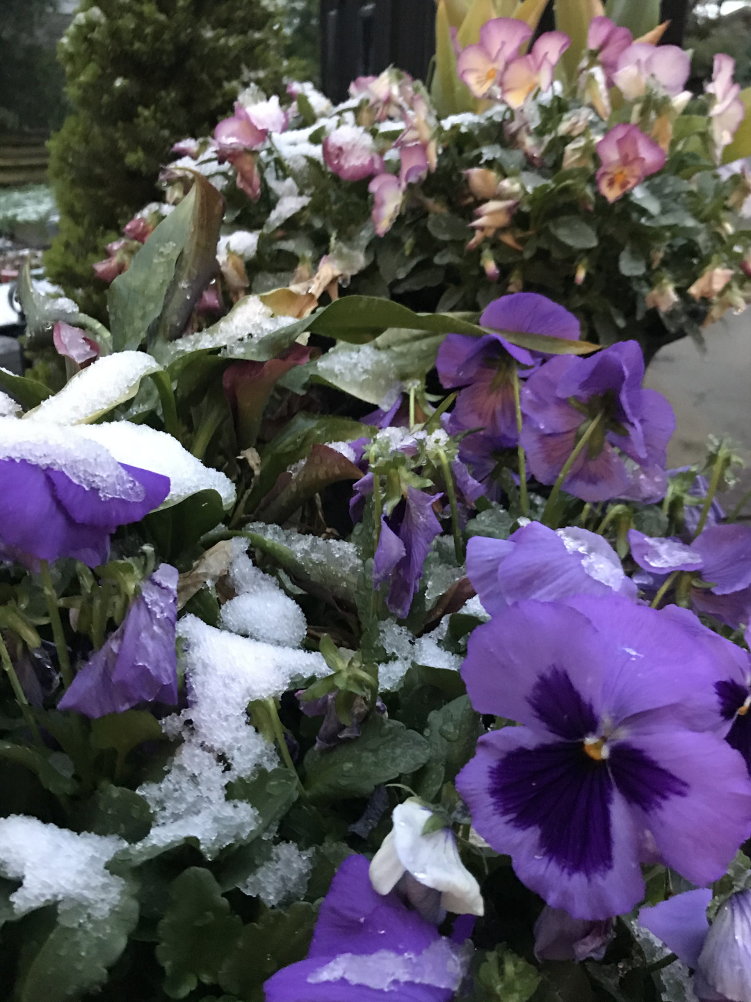 Pansy covered with snow