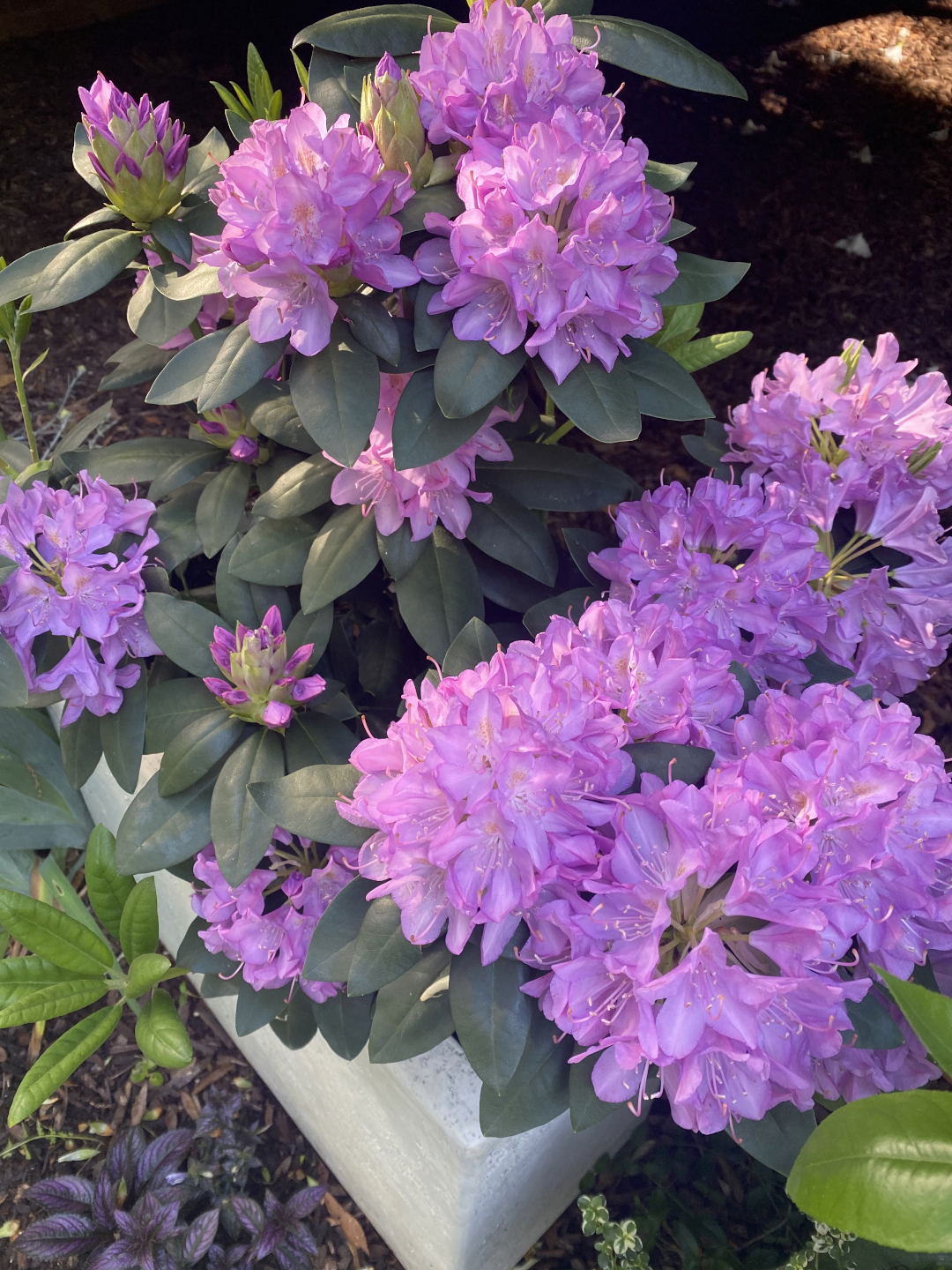 light pink rhododendron flowers