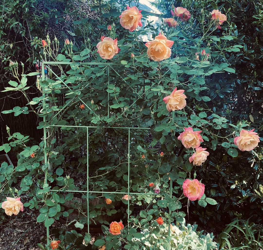 Peach climbing rose