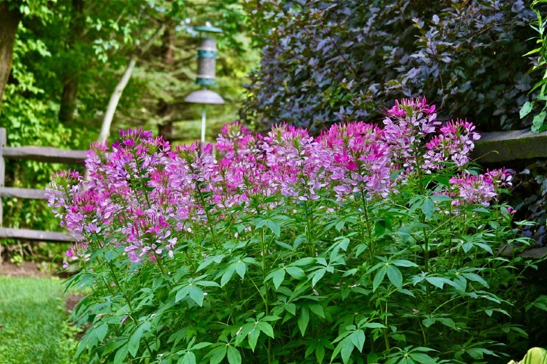 Mass of pink cleome flowers