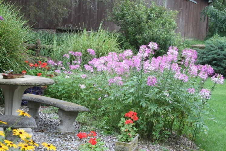 Mass of pale pink cleome flowers