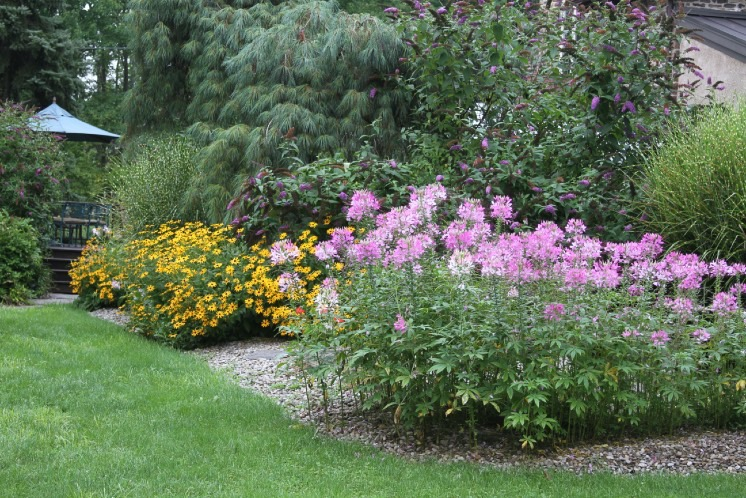 Pink cleome flowers in the foreground of a garden