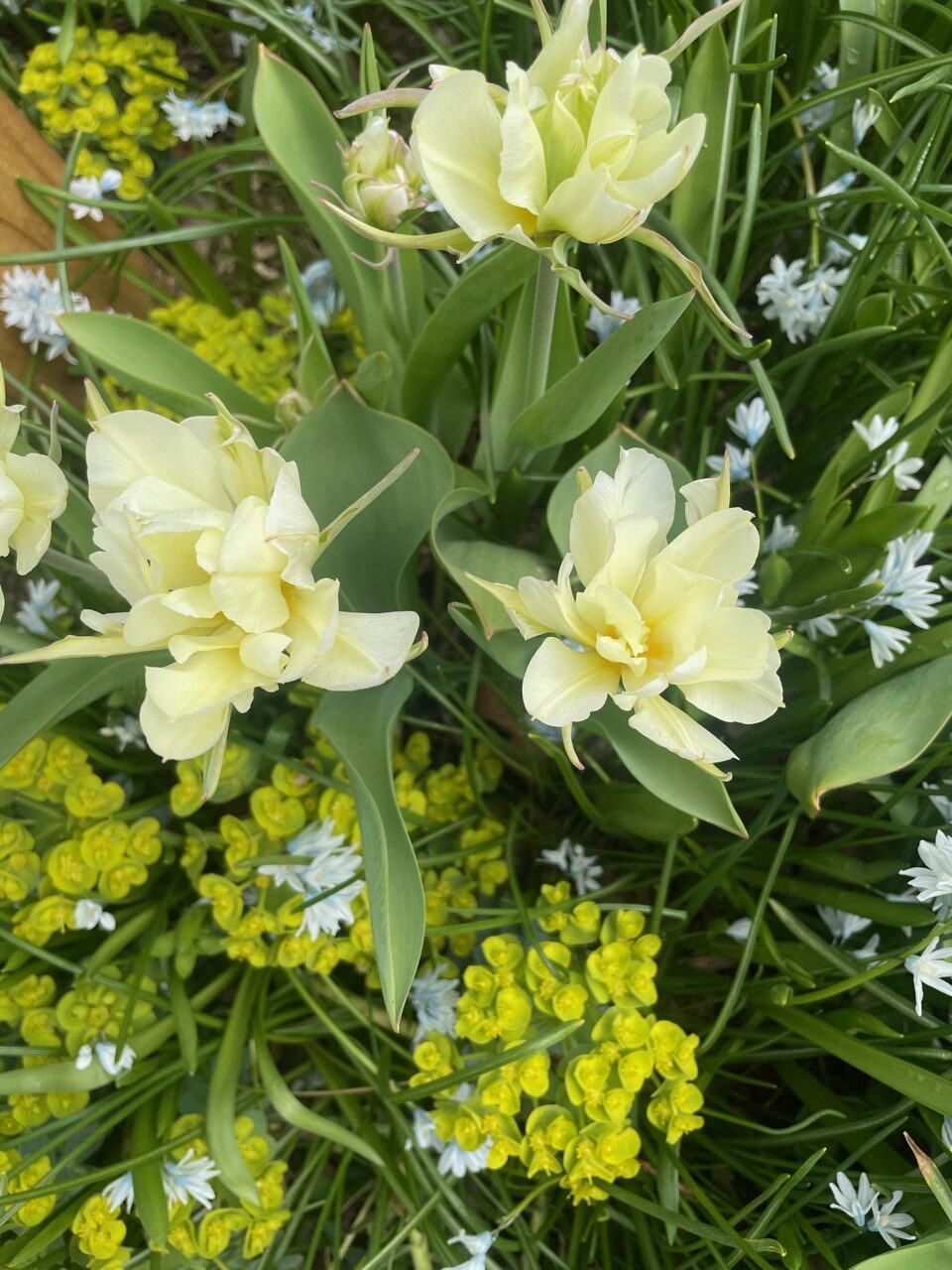 Pale green and white tulip