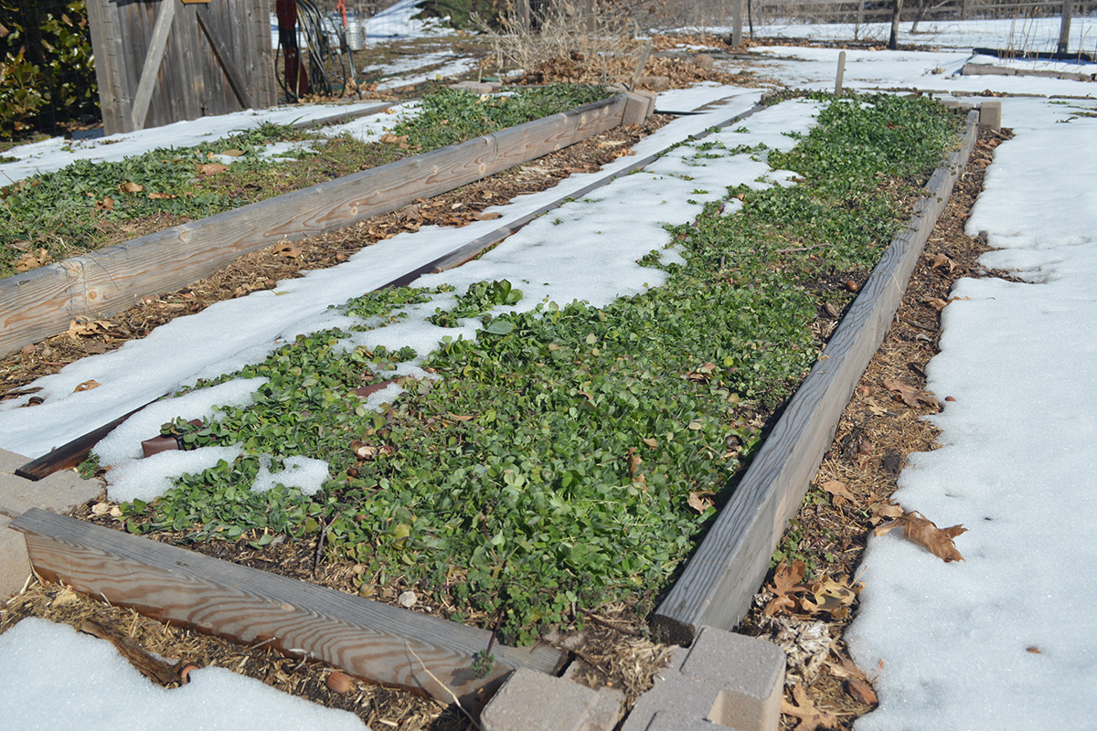 cover crops in winter