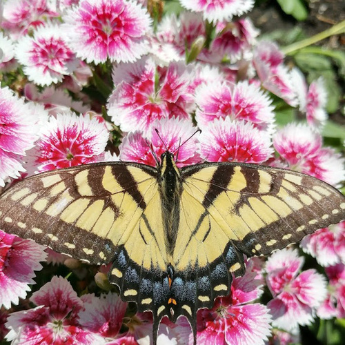 butterfly on dianthus