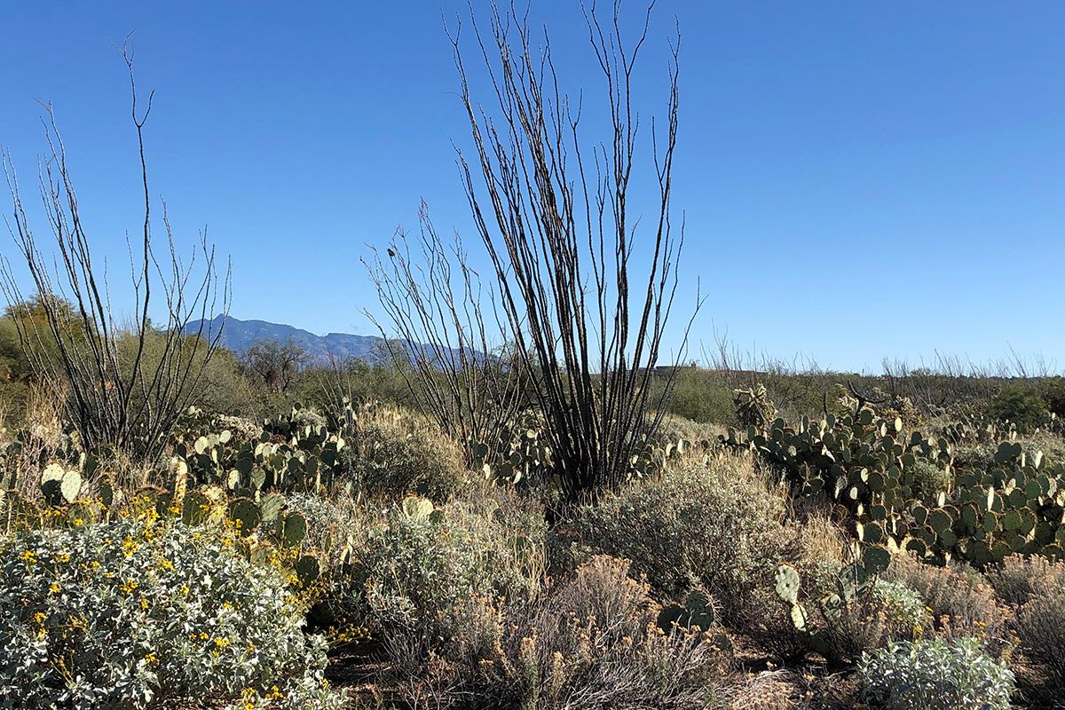 Ocotillos growing native in the desert