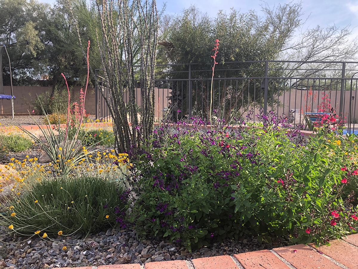 ocotillo in a garden
