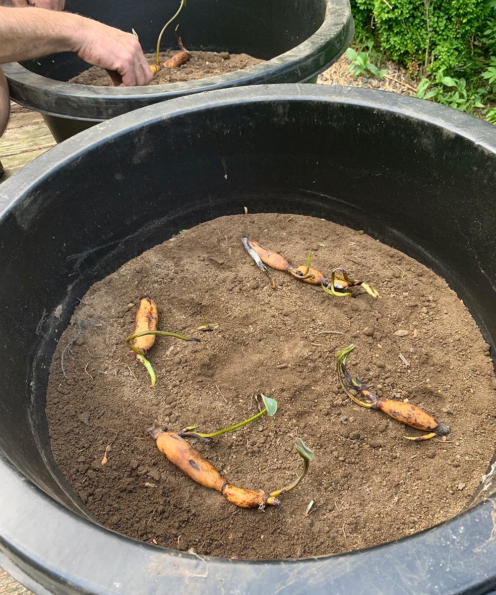 Lotus tubers in a pot