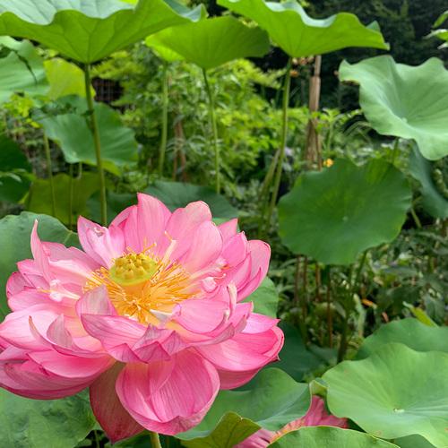 hot pink lotus bloom