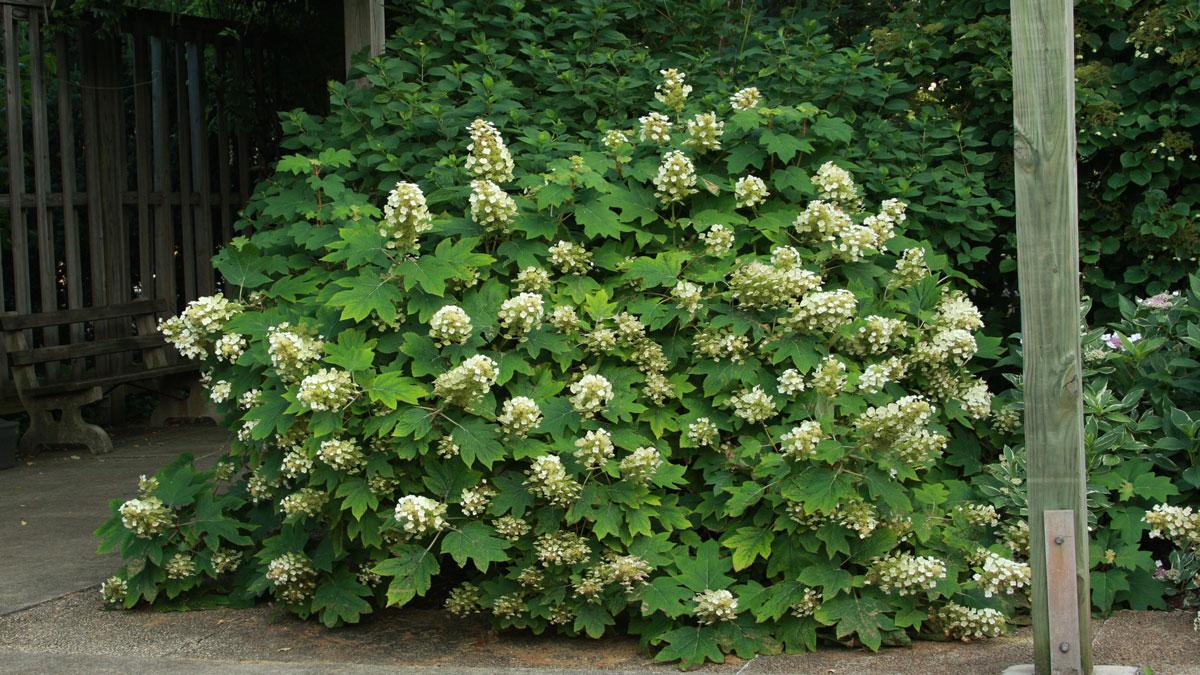 'Sikes Dwarf' oakleaf hydrangea