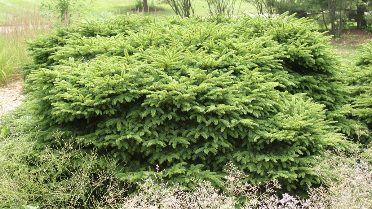 Bird's nest spruce