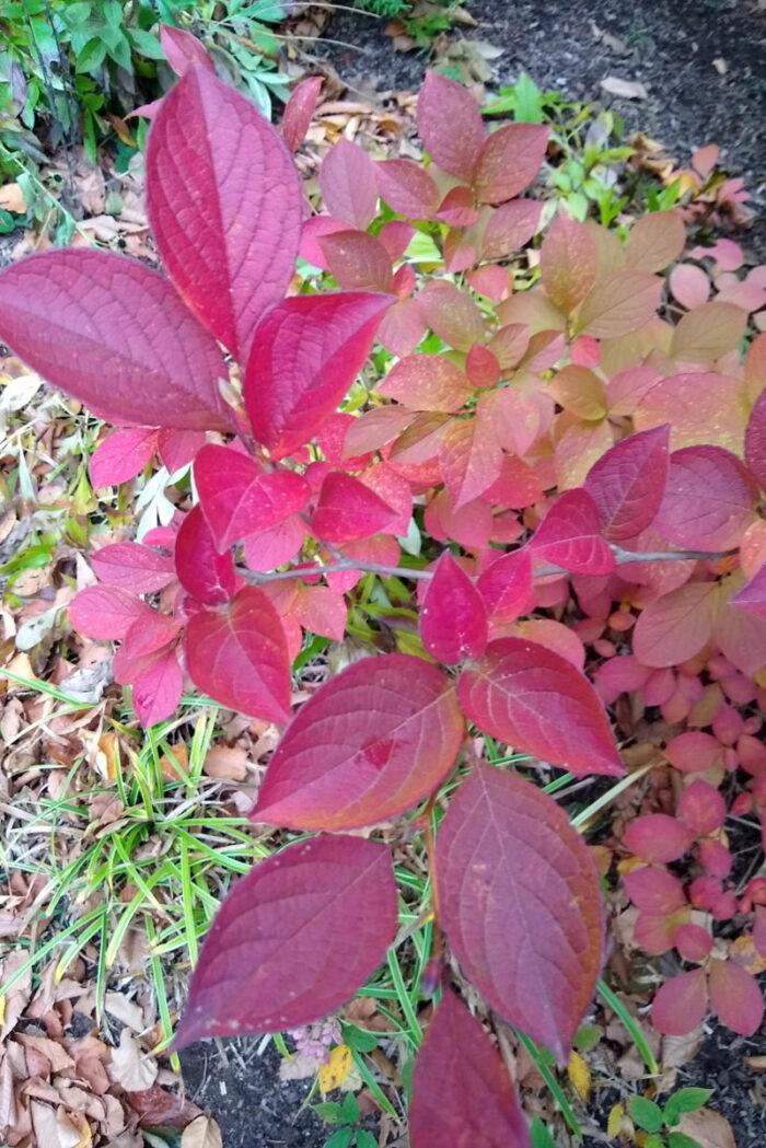 Japanese stewartia (fall color)